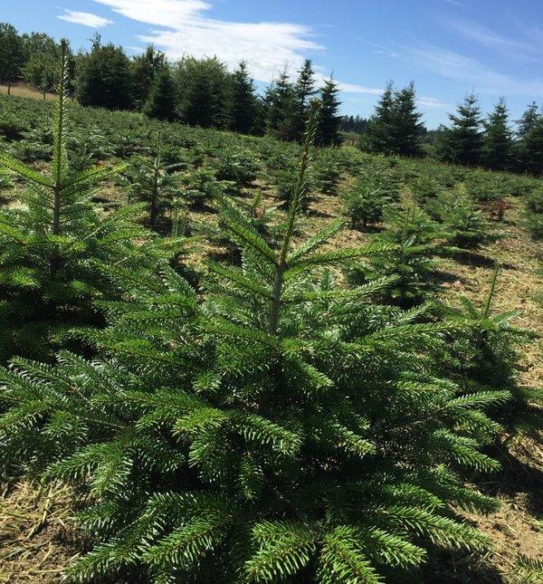 Gutschein Weihnachtsbaum.Gutschein Für Einen Weihnachtsbaum Selbstabholer
